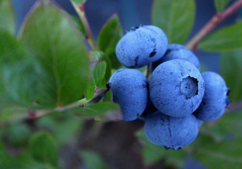 blueberry-1062710